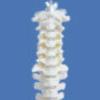 脊柱骨人体骨骼模型